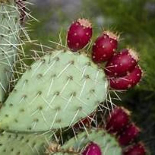 Prickly Pear Dose Logo